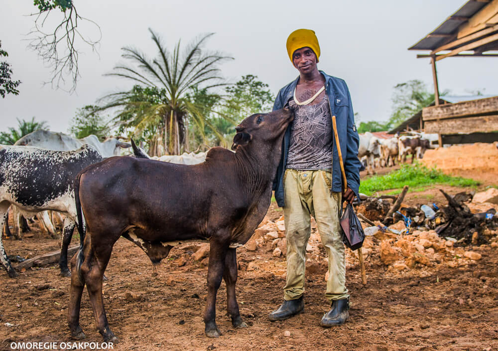 Cow and fulani herder